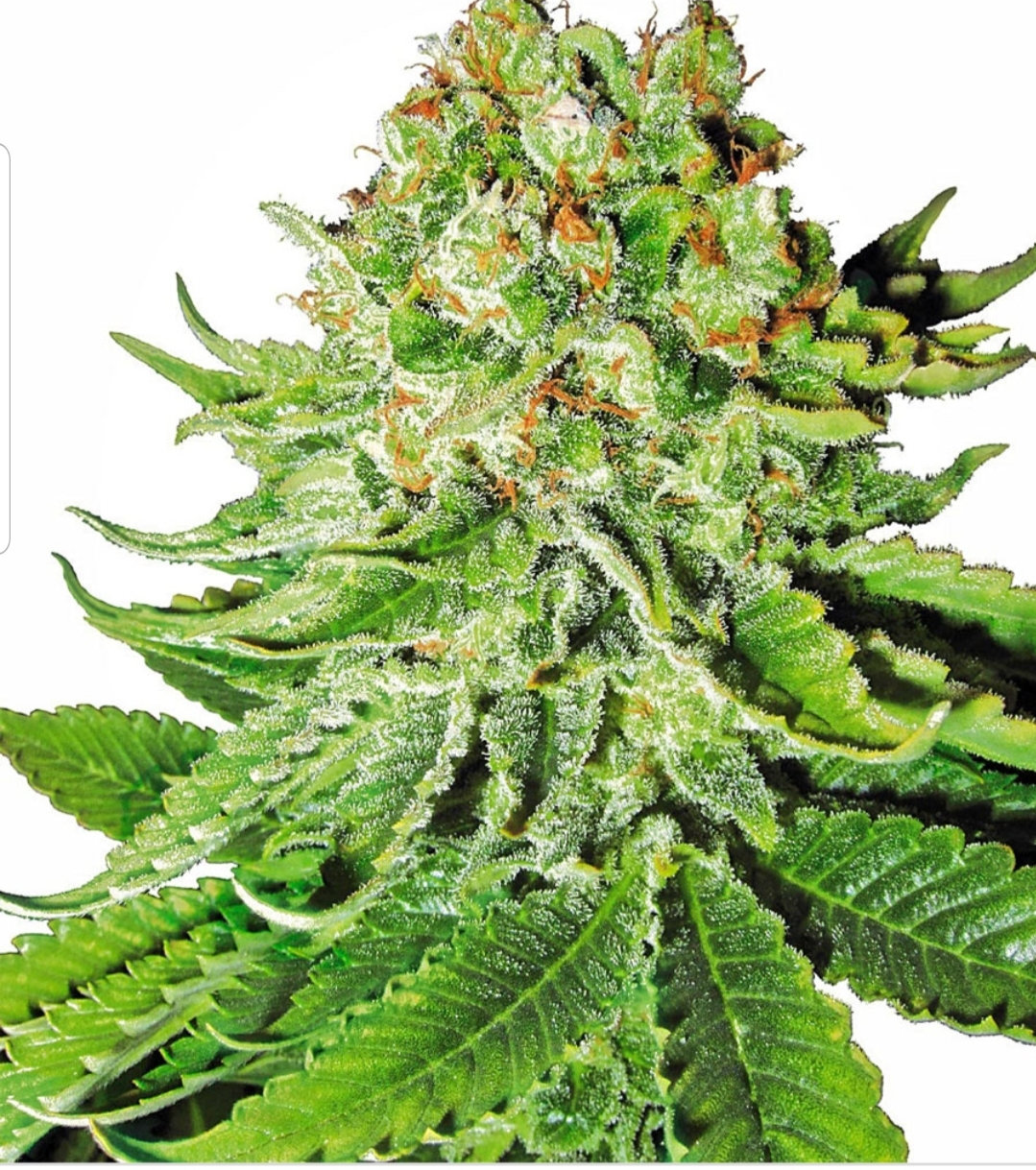 Various strains of weed  Individual seller from Melbourne suppliers
