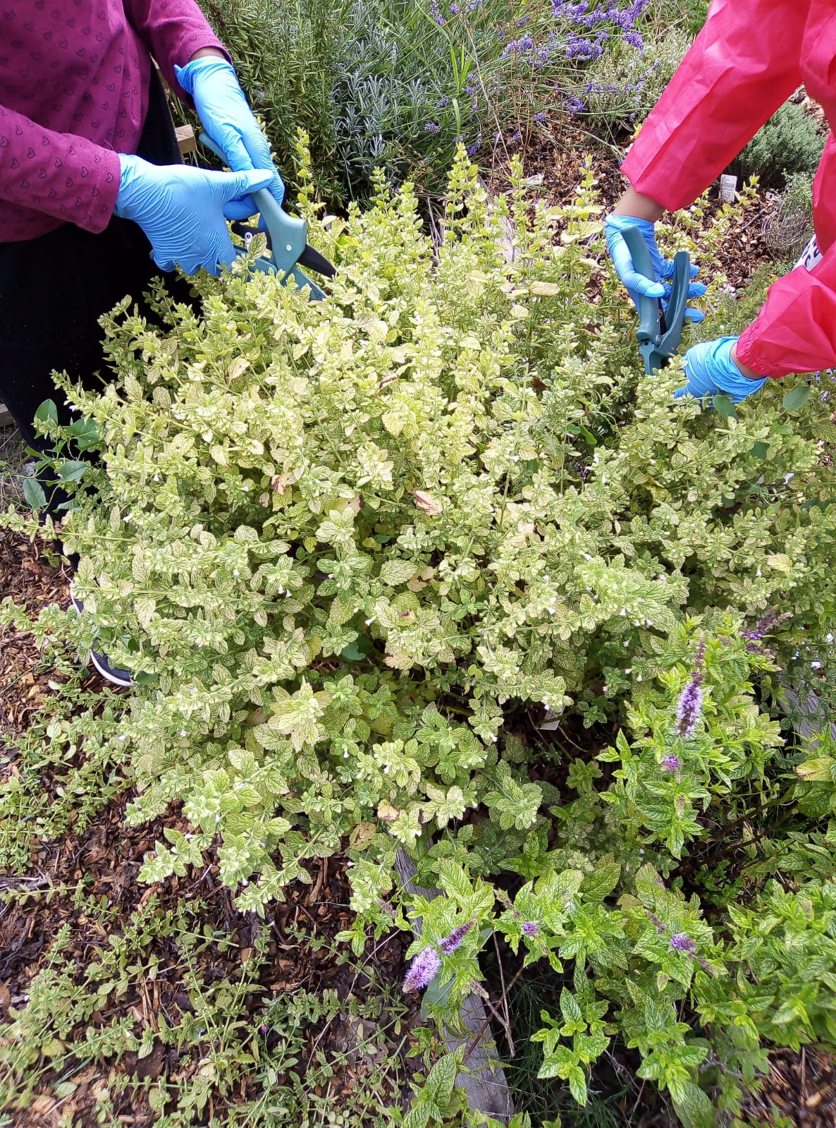 pruning Lemon Balm