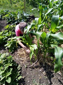mulching the corn plants