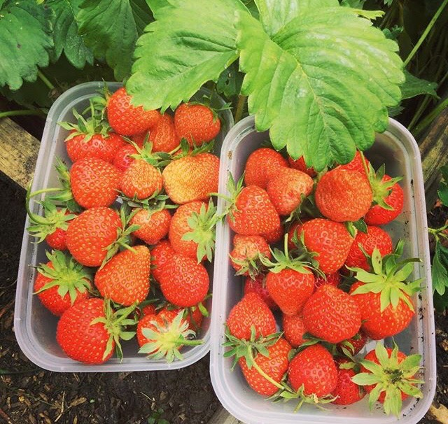 Strawberry harvest