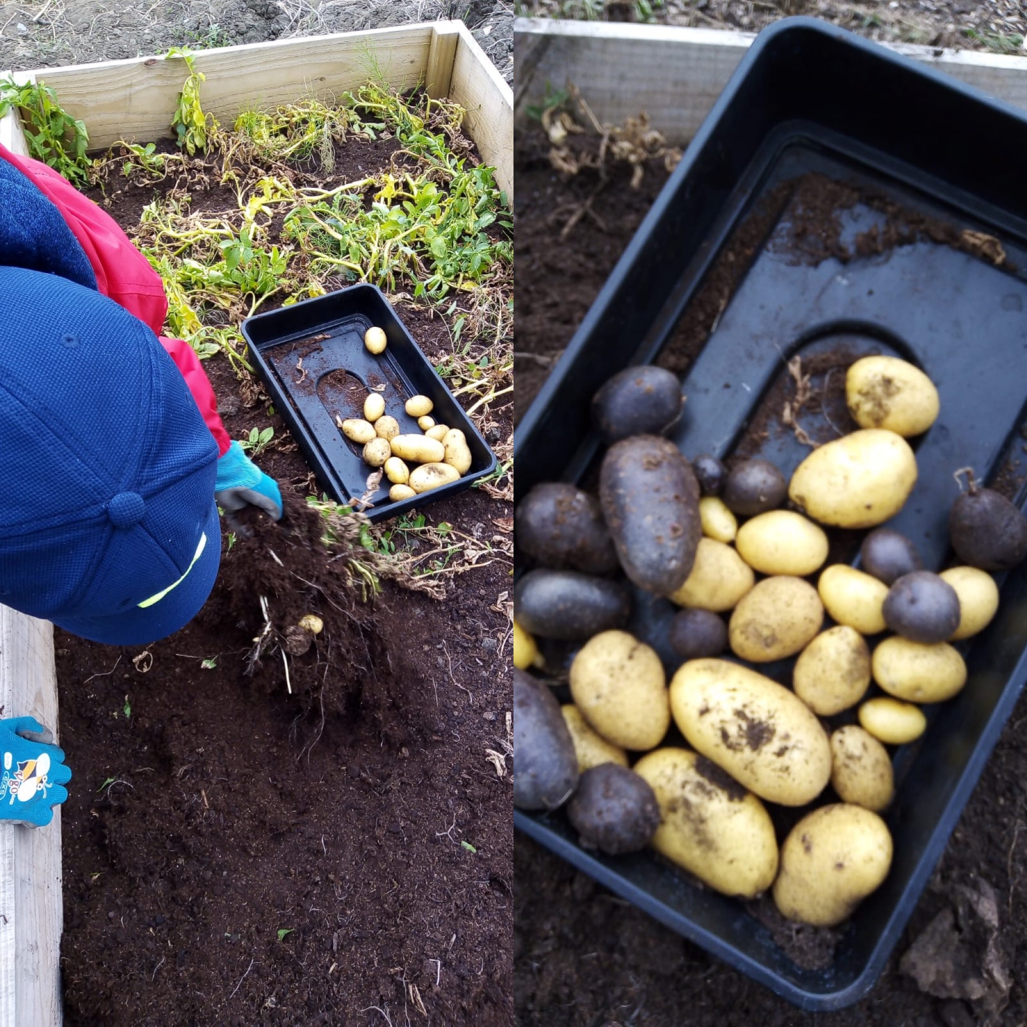 Harvesting white and purple potatoes