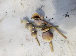 de-seeding poppy heads