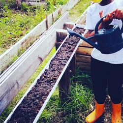 watering micro-greens sown in guttering