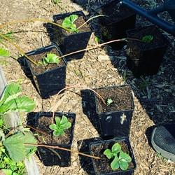 propagating strawberry runners