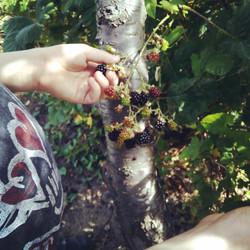 Harvesting some blackberries..