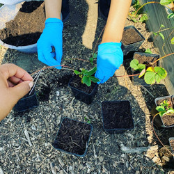 Propagating Strawberry plants