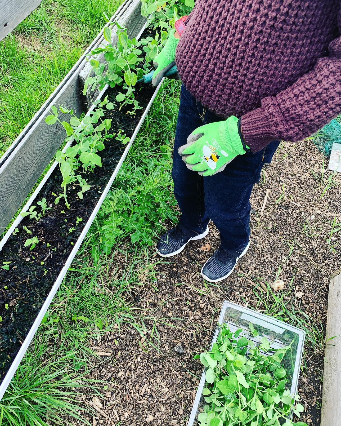 harvesting the Pea shoots