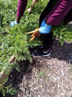 Harvesting Carrots 2