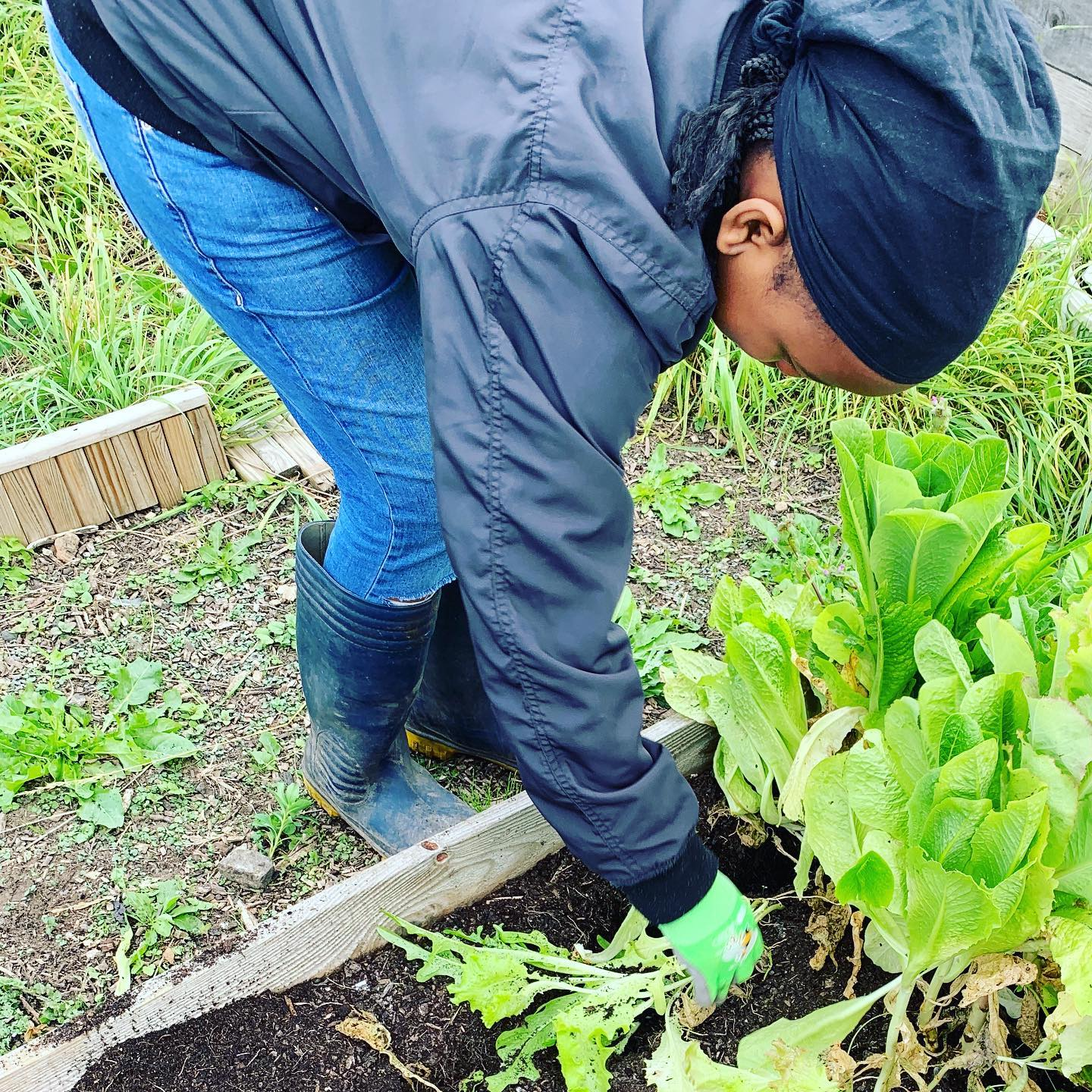clearing the lettuce bed