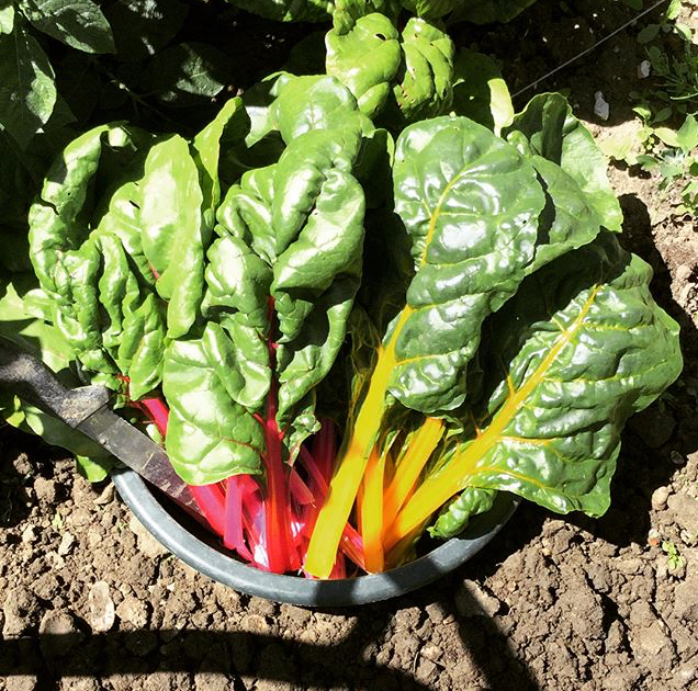 Colourful Chard