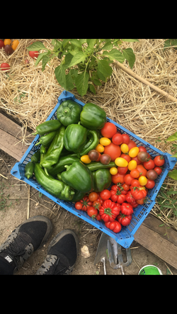 Pepper and tomato harvest