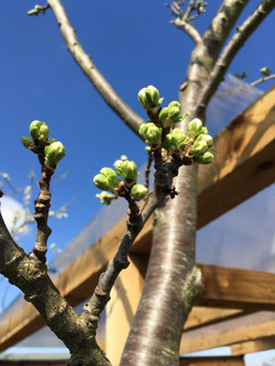 Plum tree in bud