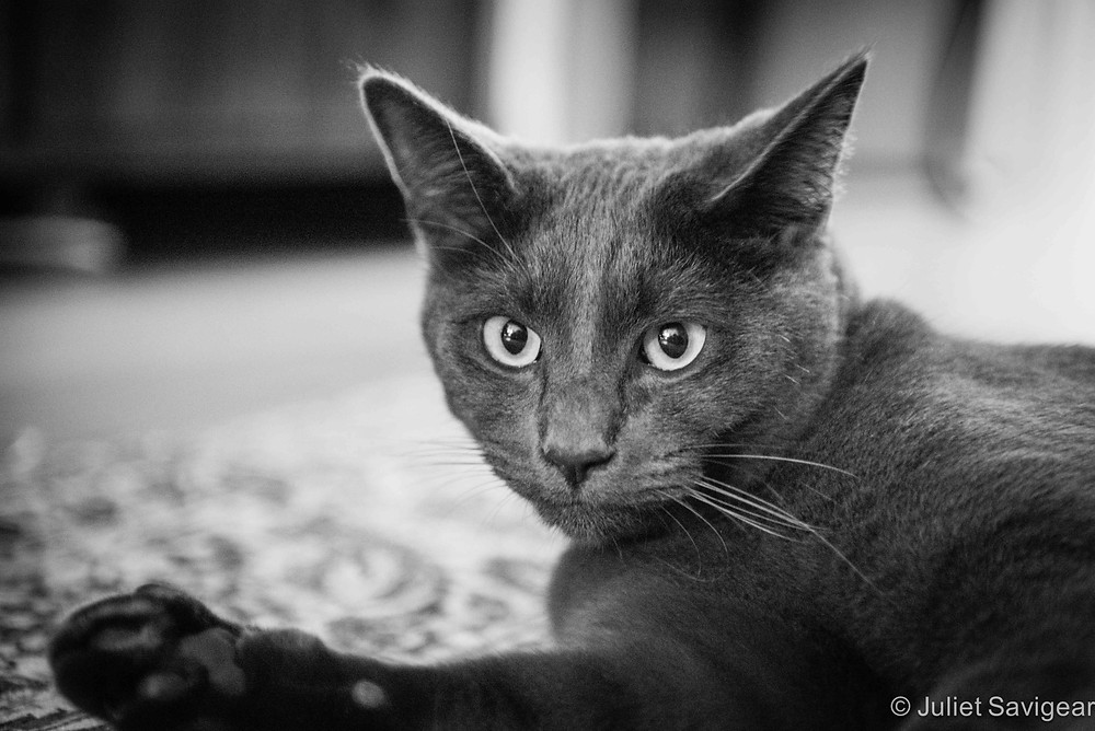 Family Cat - Pet Photography, Balham