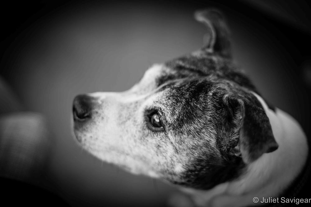 Pet Photography - Staffordshire Bull Terrior