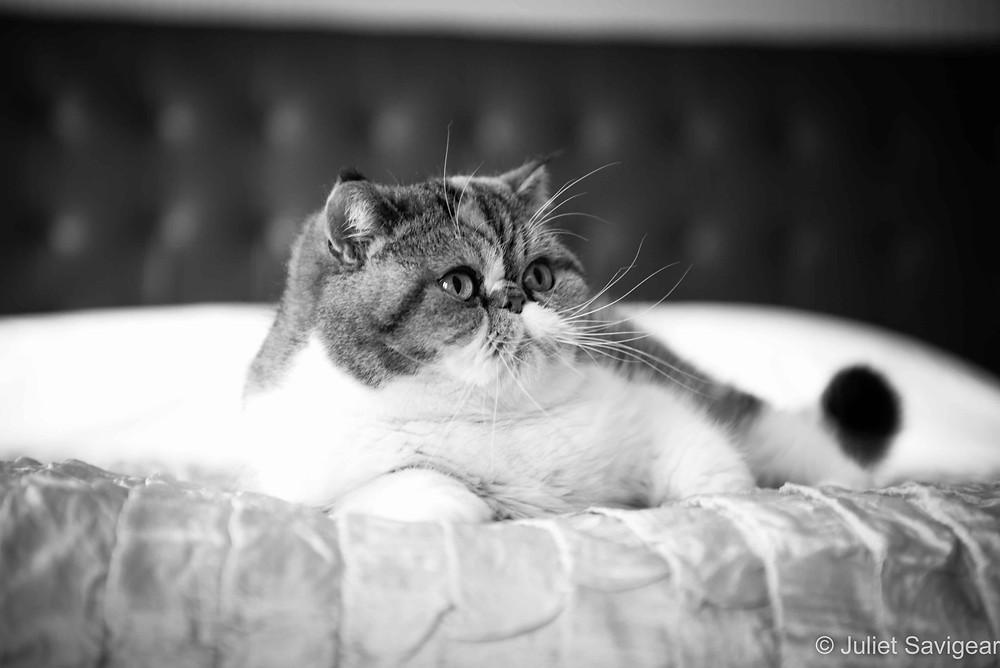 The Cat - Pet Photography, London