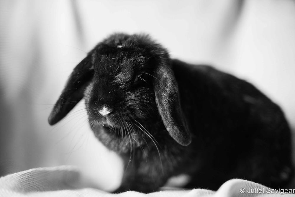 Pet rabbit - pet photography Orpington, kent