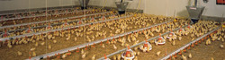 Sedgeford Chicken Farm
