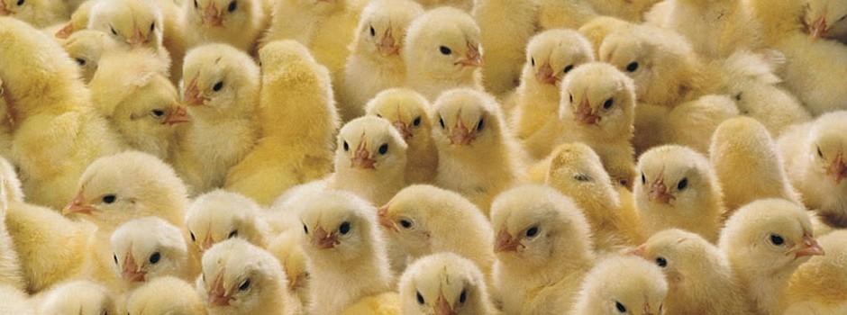 chicks-3-940x350