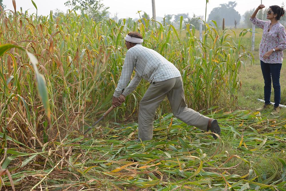 slashing bajra crop
