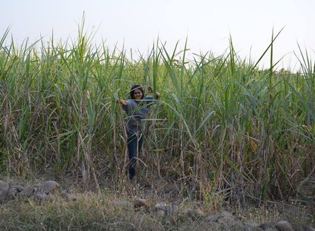 Growing Sugarcane