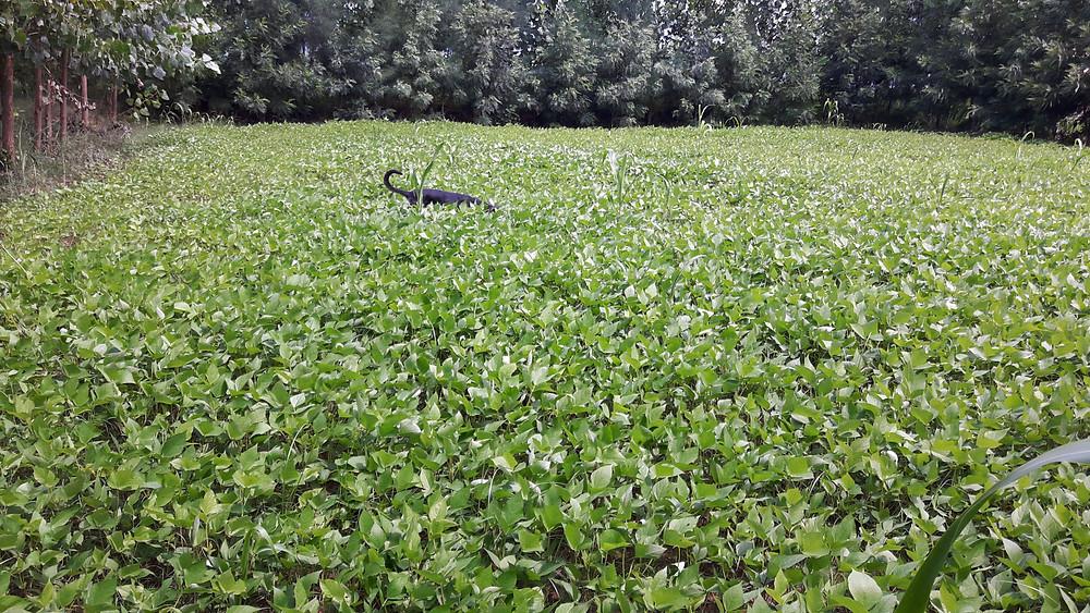 Urad Dal field