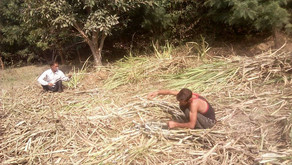 Harvesting Sugarcane to make Jaggery | Gur