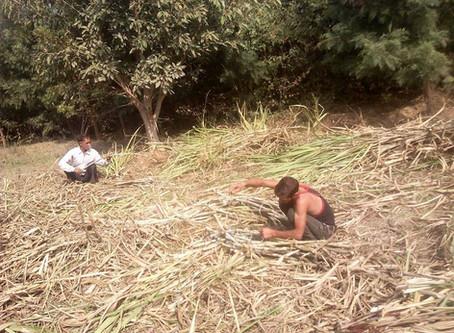 Harvesting Sugarcane to make Jaggery | Gur