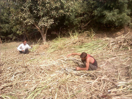 Crops in Permaculture: Sugarcane Harvest