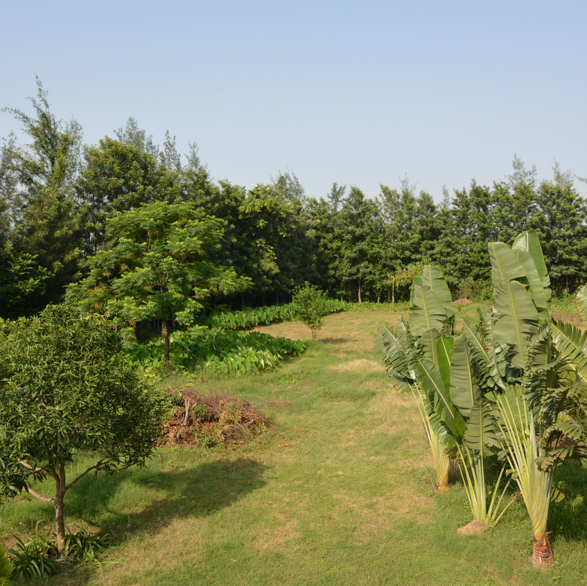 vegetable garden in the backdrop with Colocasia/ Arbi growing on the left
