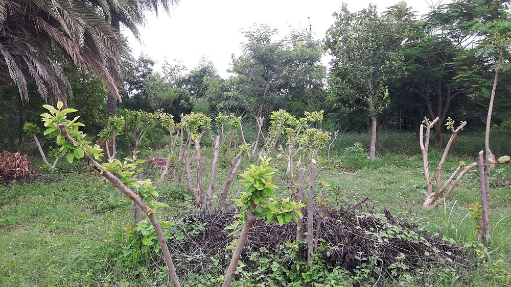 rejuvenated guava trees getting fresh growth