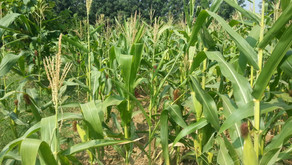 Growing Maize | Corn