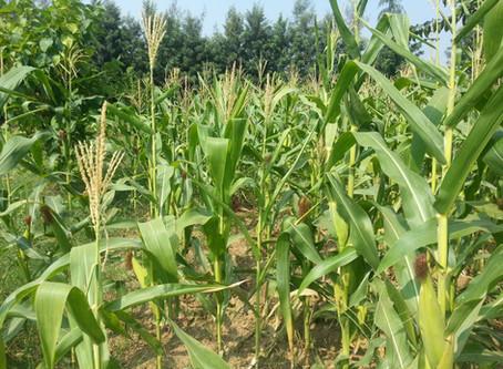 Growing Maize   Corn