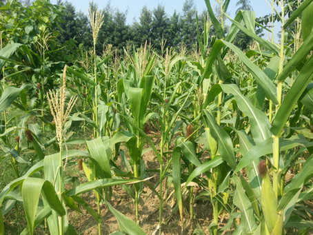 Growing Maize | Corn