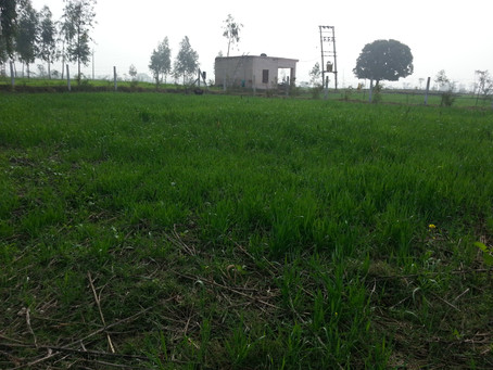 No Till Farming in Permaculture: Wheat