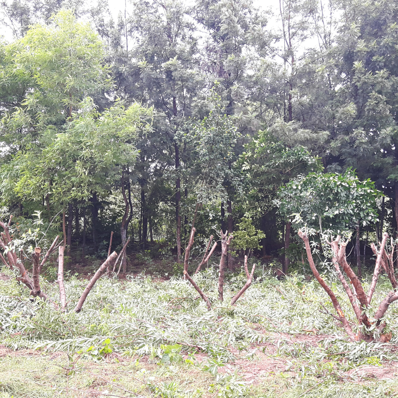 Drastically cut back overgrown peach trees to rejuvenate them for fruit production