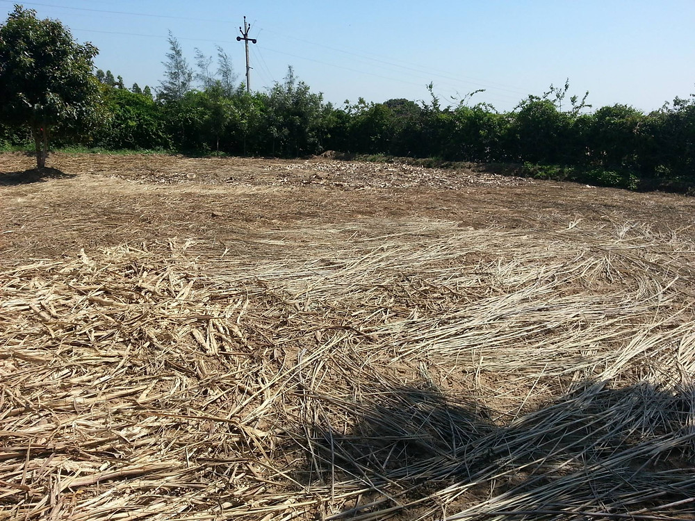 sowing sugarcane