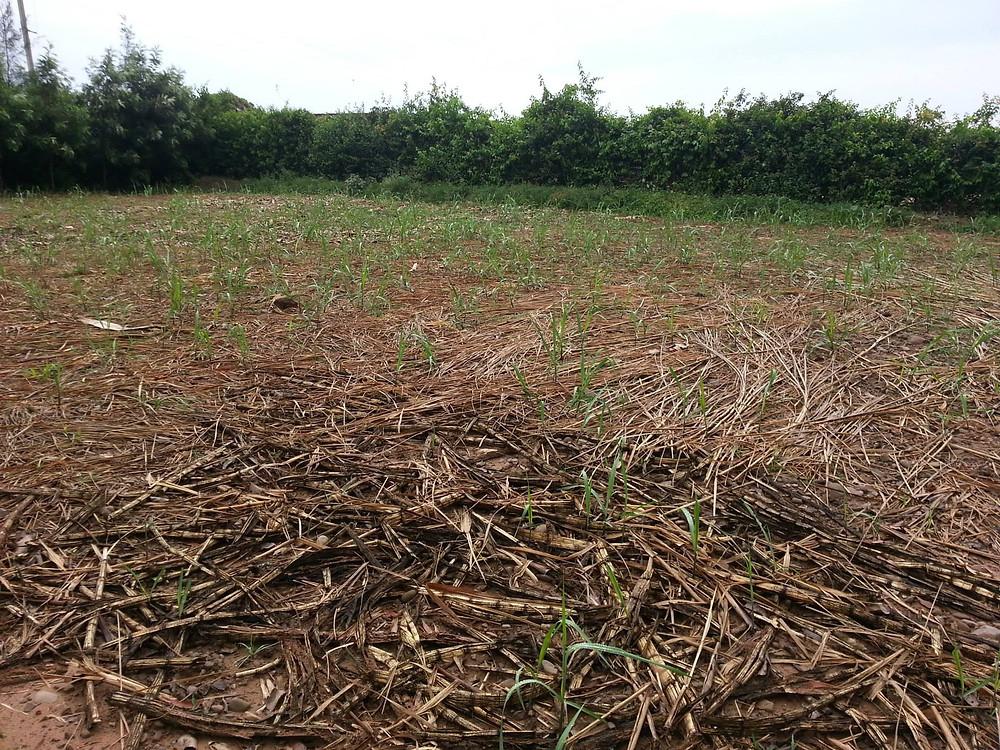 sugarcane germinating