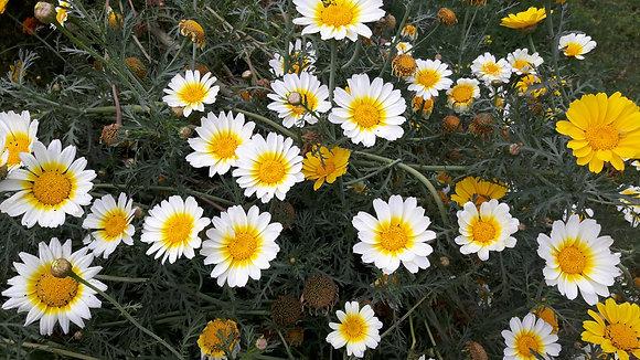 Crown Daisy seeds