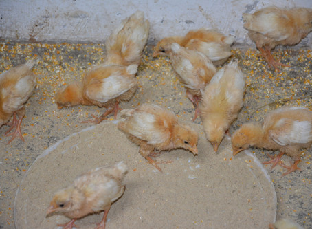 Experiment with Day Old Chicks