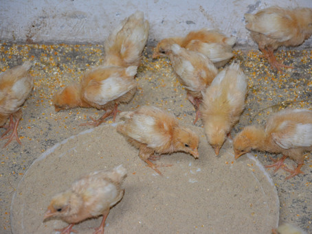 Animals in Permaculture: Day Old Chicks
