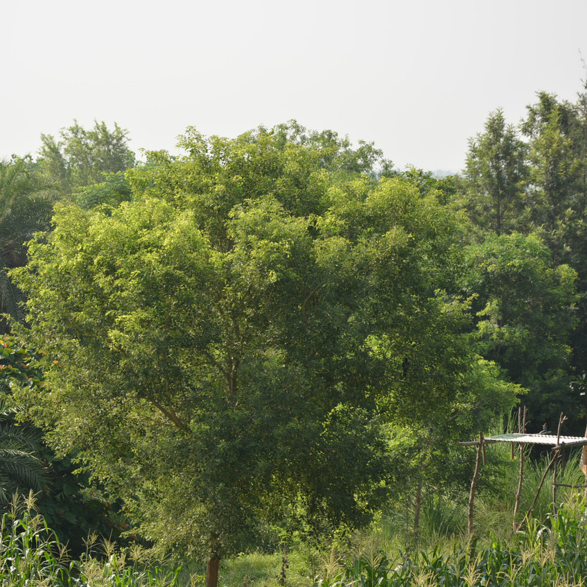 A Rosewood tree in the food forest