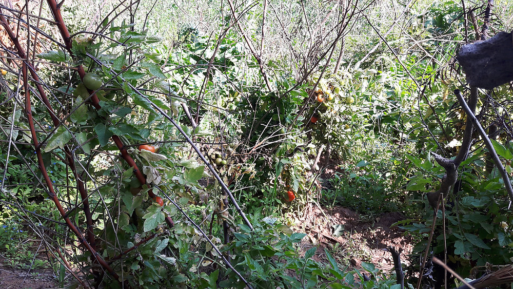 permaculture tomatoes