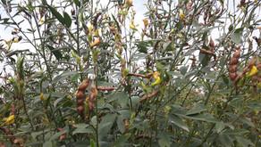 Crops in Permaculture: Arhar Dal   Pigeon Pea Harvest