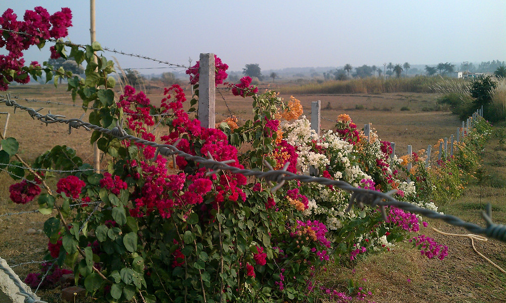 bougainvillea fence