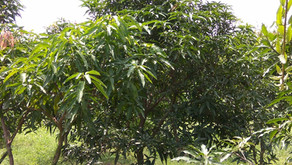 Fruit Trees in Permaculture: Mango Trimming