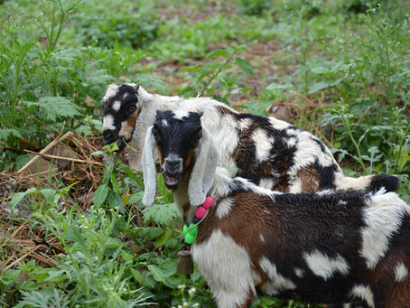 Animals in Permaculture: Goats