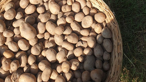 Crops in Permaculture: Potatoes