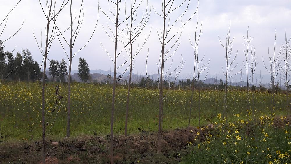 mustard sarson field winter morning