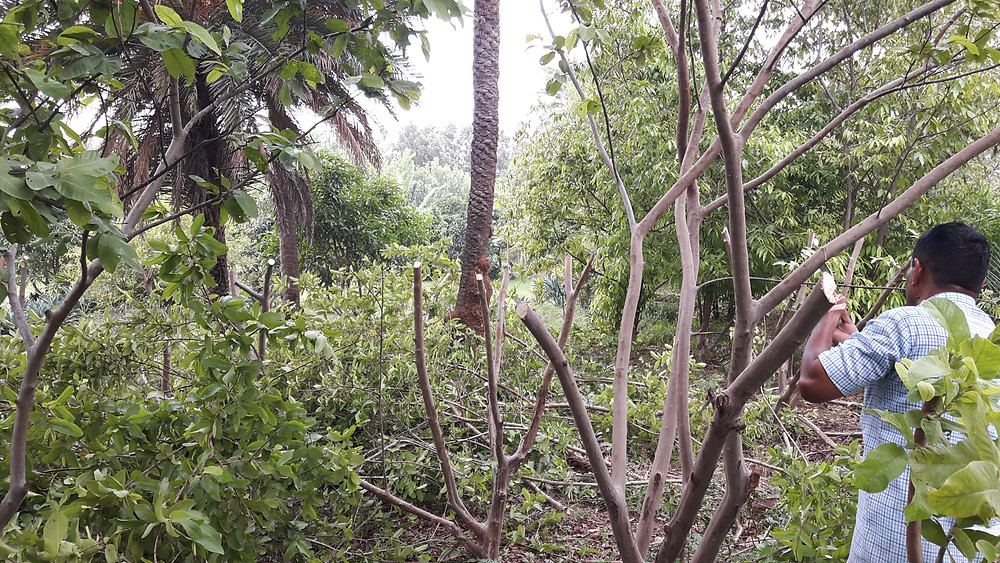guava trees being rejuvenated