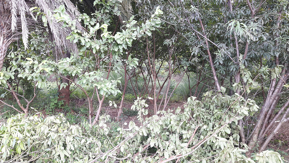 guava grove being pruned